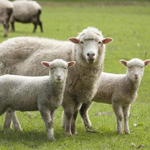Sheep supplements