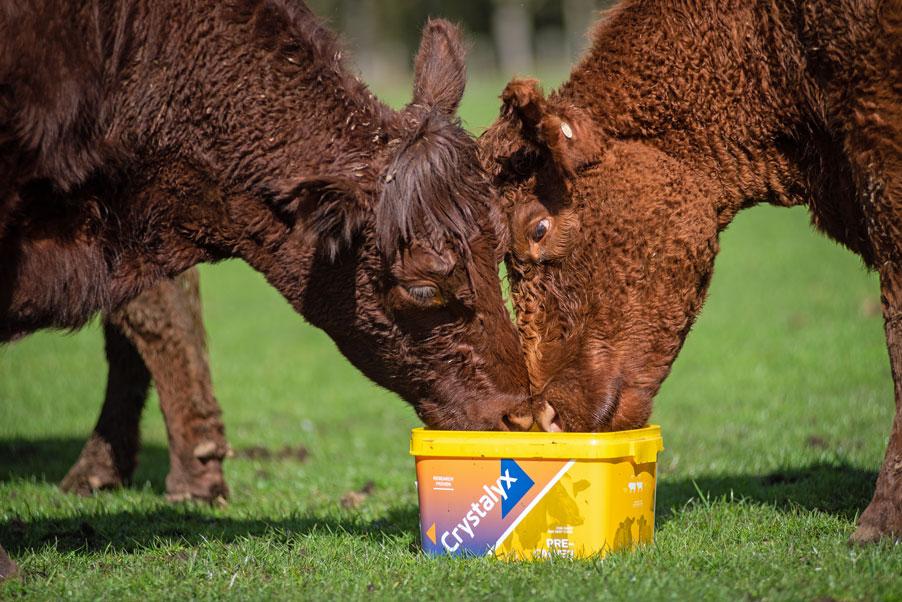 Crystalyx-Pre-Calver-Cattle-Feed-Lick